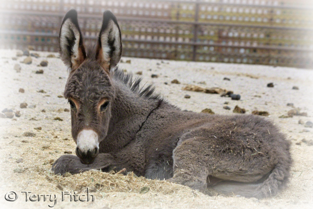 Baby burro held in BLM facility