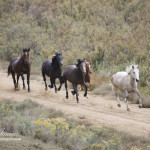 Wild Horses: Court Gives Green Light to Zero Out West Douglas Herd