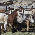 Take Action – Tell Oregon State University President to Stop Pregnant Wild Mare Experiments