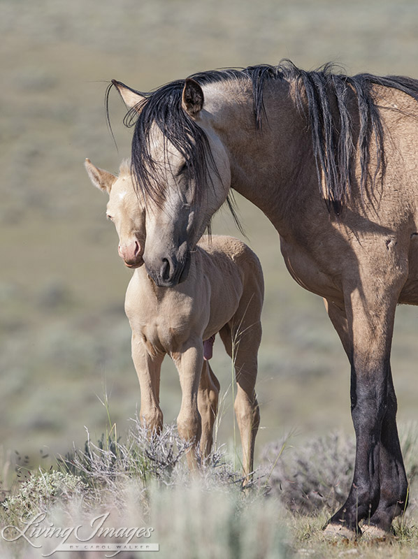 Carol's adopted mustang Cremosso with his mother in the wild