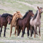 Please Comment To Stop BLM's Plans to Roundup and Study Adobe Town Wild Horses
