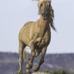 Please Comment on the BLM's Plans to Remove Wild Horses in Sand Wash Basin