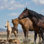 Horse Slaughter, Wild Horses & Burros;  Senate Save – House Kill, What the Heck Does It All Mean?