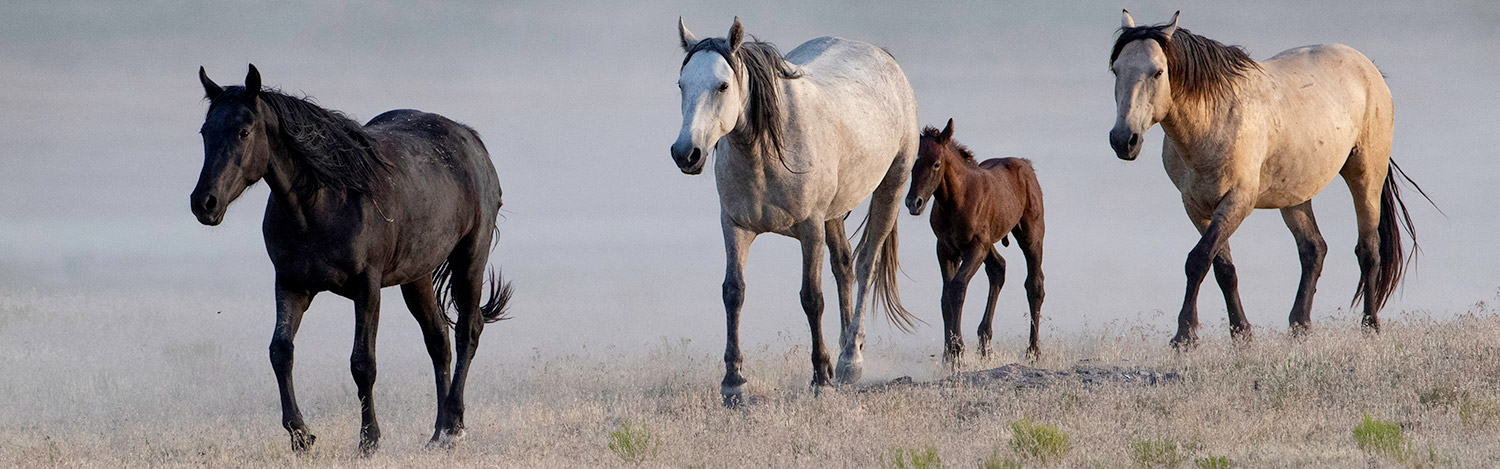 Wild Horse Freedom Federation - Putting People between Wild