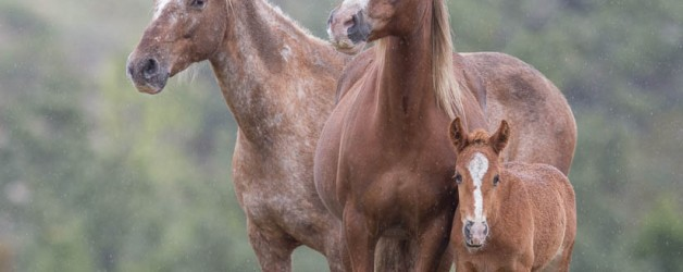 Wild Horses: A New Sense of Freedom for the Adobe Town Horses at Black Hills Wild Horse Sanctuary