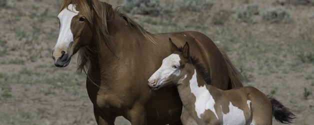 Wild Horses: The BLM's Sterilization Studies are Barbaric and Unnecessary