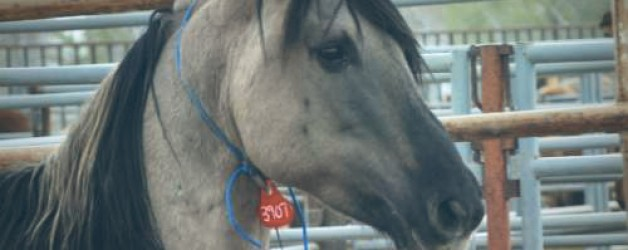 BLM Murders Another Wild Horse