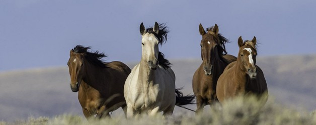 Wild Horses: The BLM's Brutal Plan to Study and Spay White Mountain Mares