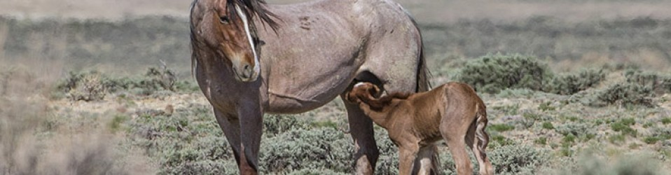 Wild Horses: Tell BLM to Stop Barbaric Experimentation on Our Wild Horses