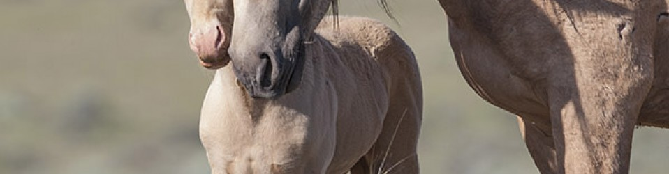 Save Our Wild Horses: Stop the Sterilization